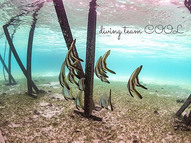 インドネシア デラワン島 ナンヨウツバメウオの若魚