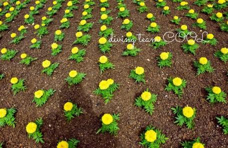 沖縄陸写真 アフリカンマリーゴールド