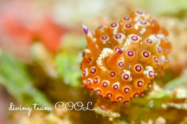 沖縄ウミウシダイビング トゲトゲウミウシ
