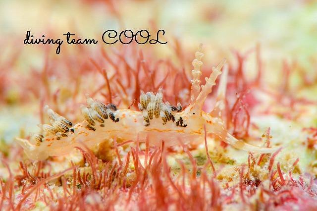 沖縄ウミウシダイビング キャロットシードミノウミウシ