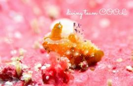 沖縄ウミウシダイビング フジタウミウシ属の1種4
