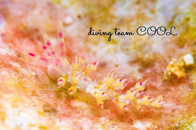 沖縄ウミウシダイビング ユビワミノウミウシ