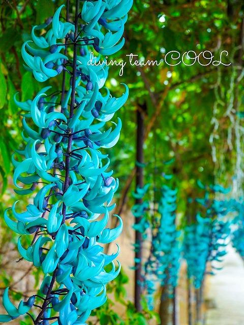 東南植物楽園 ヒスイカズラ