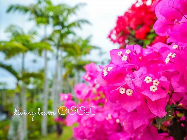 東南植物楽園 ブーゲンビレア