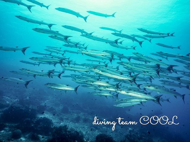 インドネシア マラトゥア島 ブラックフィンバラクーダ