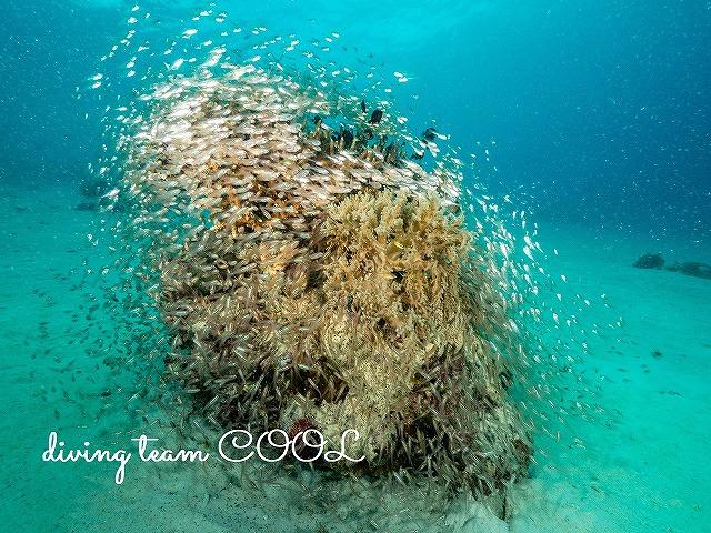 インドネシア サンガラキ島 キンメモドキ群れ