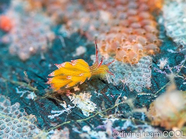 沖縄 ホリミノウミウシ属の一種の31
