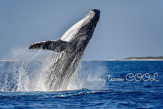 沖縄 ザトウクジラ