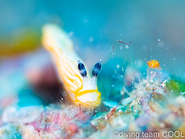 沖縄 キシマオトメウミウシ