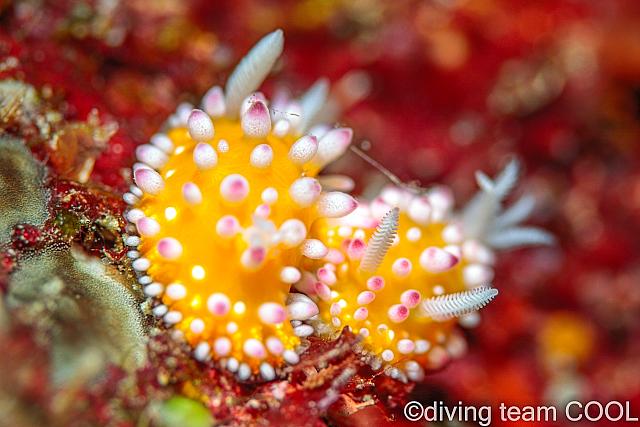 沖縄 イガグリウミウシ
