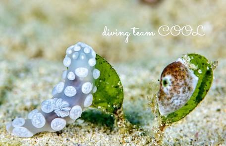 沖縄 シロボンボンウミウシ