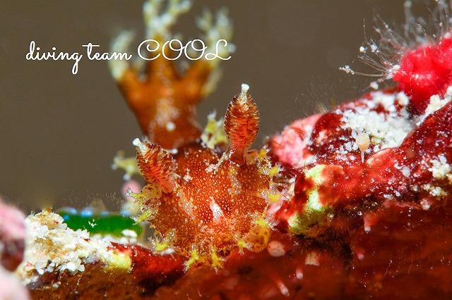 沖縄ウミウシダイブ ベッコウヒカリウミウシ