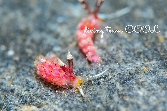 ケラマ諸島FUNダイビング ウツセミミノウミウシ