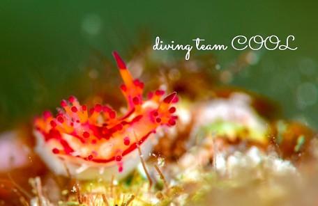 沖縄 センヒメウミウシ