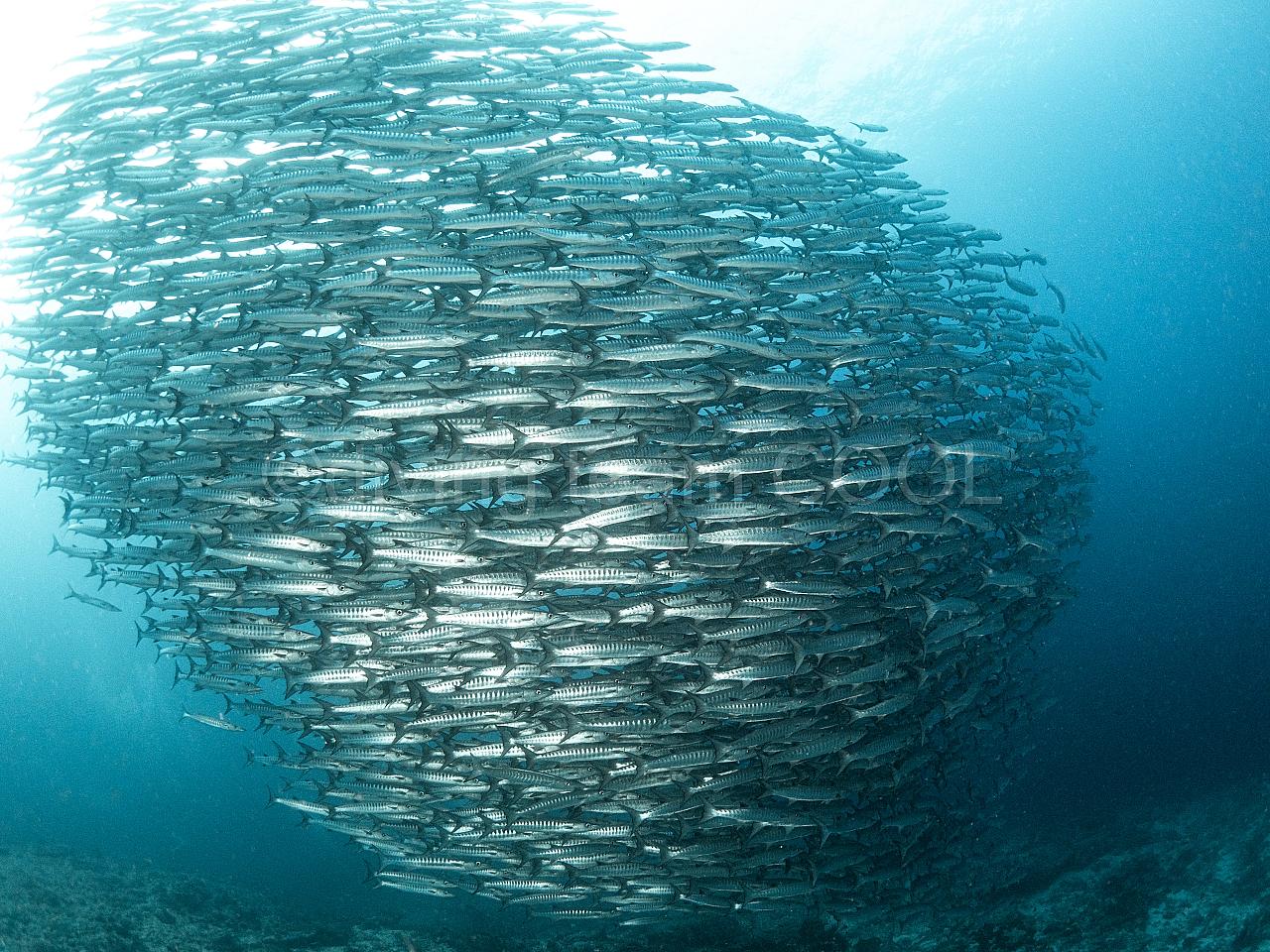 沖縄 ブラックフィン・バラクーダ