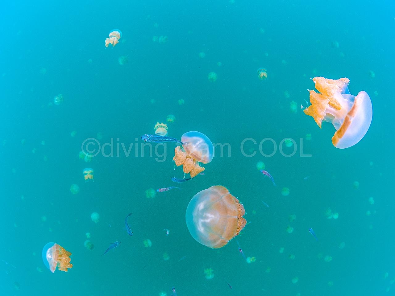 沖縄 タコクラゲ