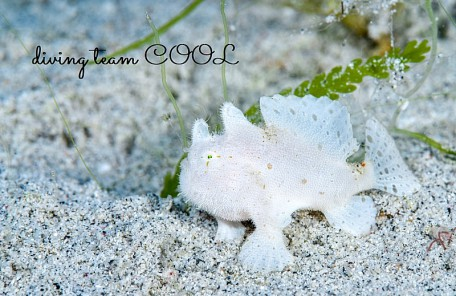 沖縄 カエルアンコウの幼魚(白)