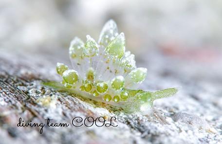 沖縄 タマミルウミウシ