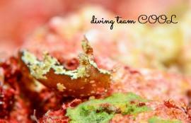 沖縄ウミウシダイブ モウサンウミウシ