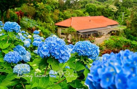 沖縄 アジサイ