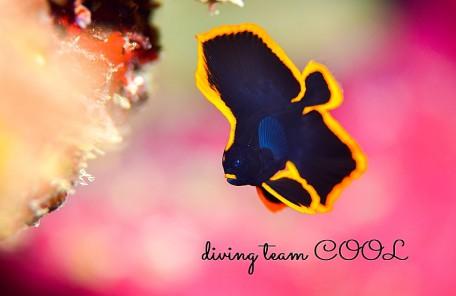 沖縄 アカククリの幼魚