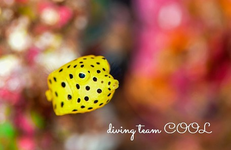 沖縄 ミナミハコフグの幼魚