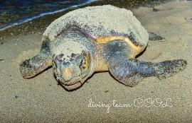沖縄 ウミガメの産卵