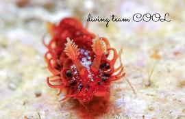沖縄 ショウジョウウミウシ