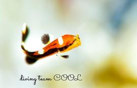 沖縄 ムスジコショウダイの幼魚