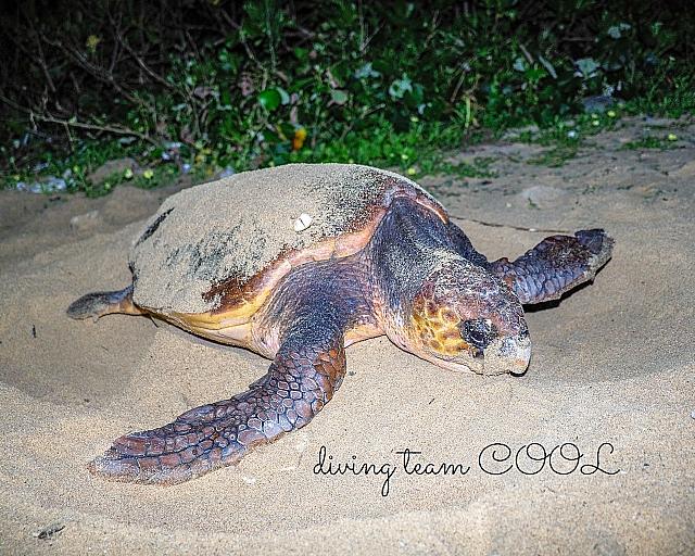 #アカウミガメの産卵