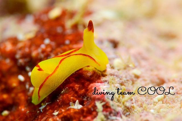 沖縄ウミウシダイビング オレンジウミコチョウ