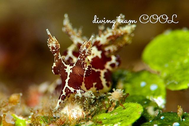 沖縄ウミウシダイビング モウサンウミウシ