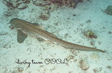 沖縄 トラフザメ