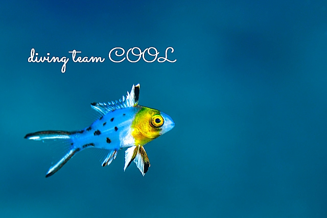 沖縄 ヒオドシベラの幼魚