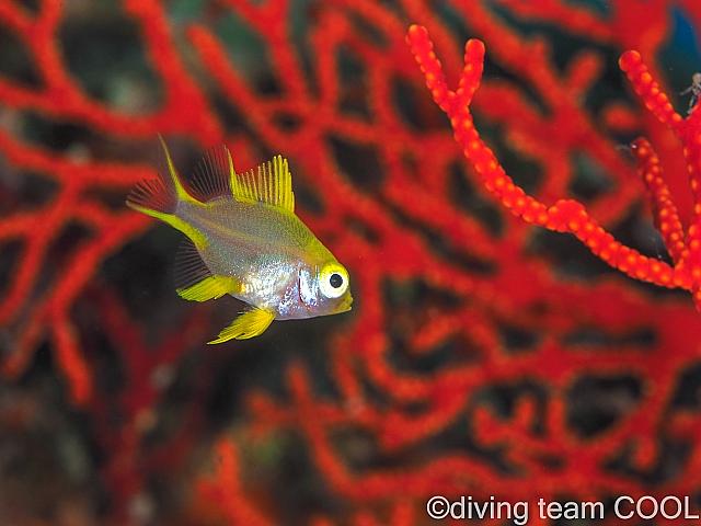 沖縄 ヤマブキスズメダイの幼魚
