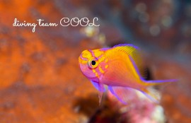 沖縄 マクロ ダイブ ハナゴンベの幼魚