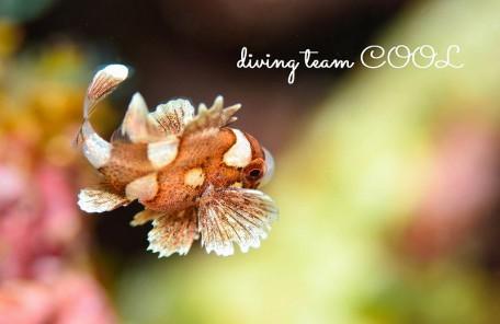 沖縄本島 ビーチダイブ マクロ チョウチョウコショウダイ幼魚