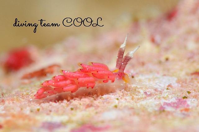 沖縄 ダイビング ウミウシ ウツセミミノウミウシ