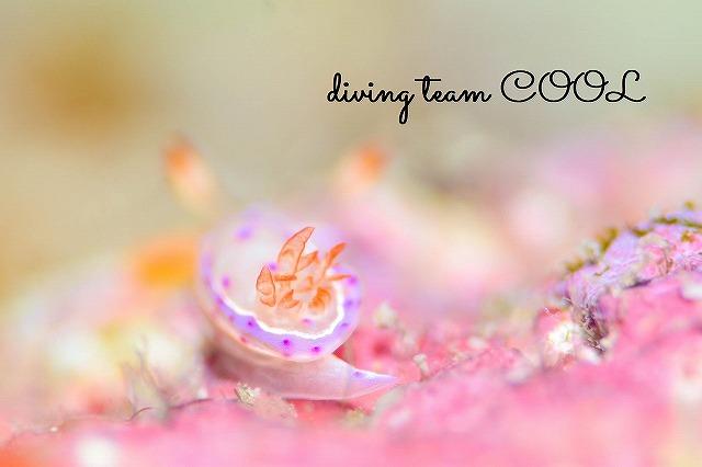 沖縄 ダイビング ウミウシ ミカドウミウシ幼体