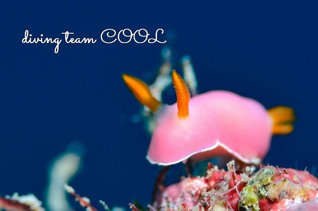 沖縄 ダイビング ウミウシ フジムスメウミウシ