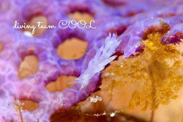 沖縄 ダイビング ウミウシ ミノウミウシの仲間