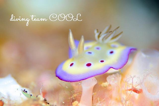 沖縄 ダイビング ウミウシ オトヒメウミウシ