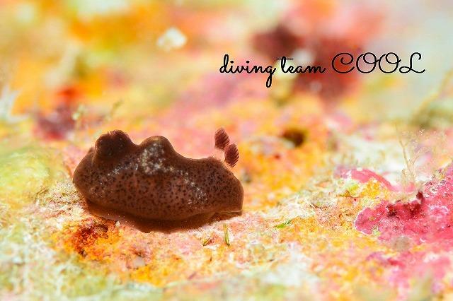 沖縄ダイビング ウミウシ ハラックサウミウシ