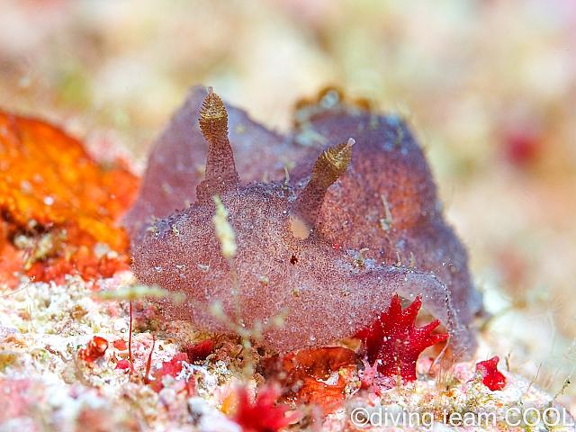 沖縄 ビロウドウミウシ属の1種6