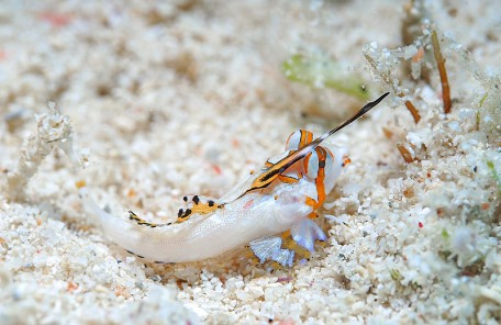 沖縄 イッポンテグリの幼魚