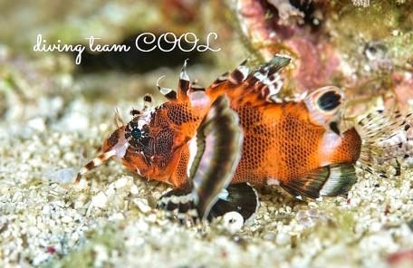 沖縄 ヒレボシミノカサゴの幼魚