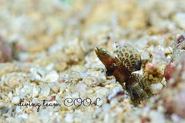 沖縄 ホタテツノハゼの幼魚