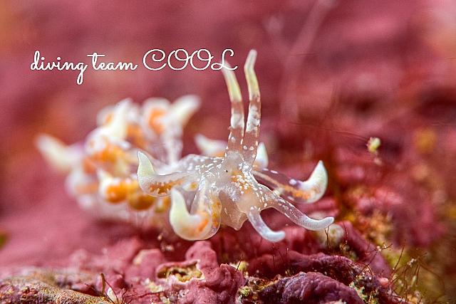 沖縄 ハナビラミノウミウシ