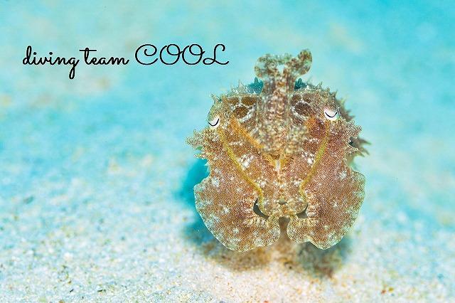 沖縄ダイビング 砂辺ビーチ コブシメ
