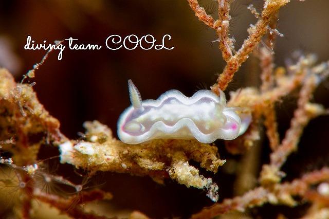 沖縄ダイビング 万座 ウスフジイロウミウシ
